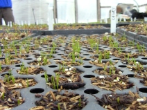 Sprouting chives