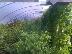 Dahlias, tomatillos and golden snap beans