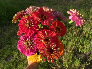 First zinnias