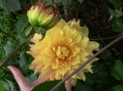 My favorite dahlia...
