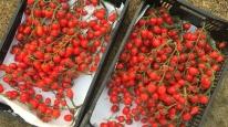 Gardeners Sweetheart tomatoes on the vine